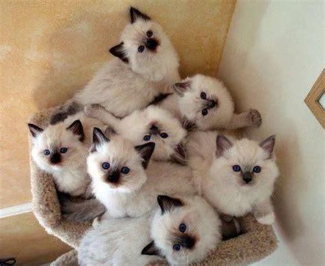 daftar harga kucing 2015 daftar harga kucing ragdolls terbaru mei 2018