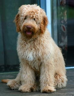 labradoodle puppies for sale in sc labradoodle puppies for sale green gables labradoodles east coast south carolina