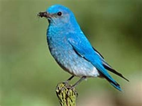 bluebird animals town