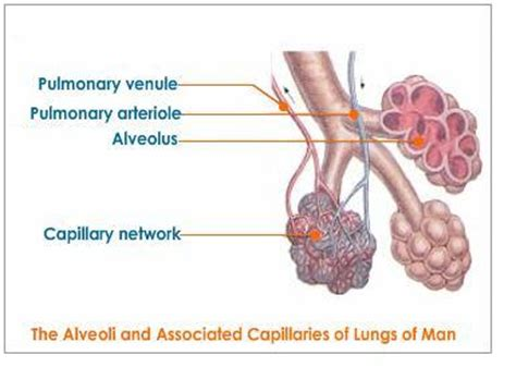 where are your lungs located in your diagram where are your lungs located diagram