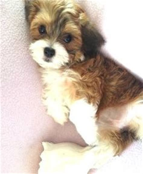 havanese clothes huckleberry finn the havanese mix cavalier king charles spaniel mix he is the cutest