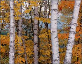 picture white birches and maples in fall hiawatha