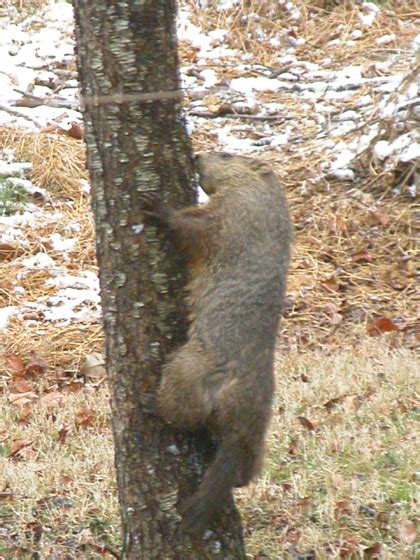 i have a groundhog in my backyard if i hadn t seen this with my own eyes i wouldn t have
