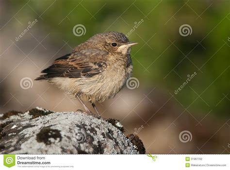 rock the boat juvenile juvenile northern wheatear stock photography image 31967702