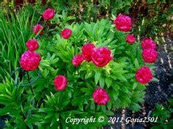 margeriten pflegen 187 gie 223 sonnenhut giftig sonnenhut garten abc giftige pflanzen