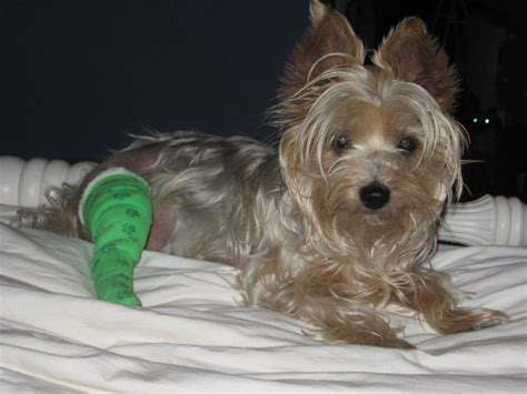 yorkie knee surgery 17 best images about i my silky on costumes yorkie and novelty