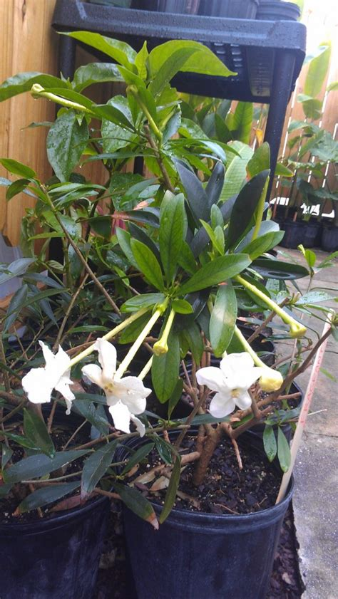 fragrant plants florida this week s hours 3 27 3 30 2013 new plants exotica