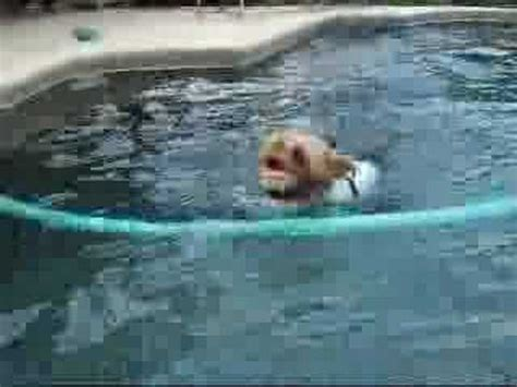 yorkie swimming in pool yorkie swimming running funnydog tv