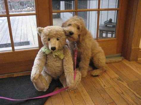 dogs that look like puppies as adults pet dogs cats fishes and small pets teddy breed images pets world