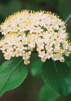 shrub with small white flower clusters blackhaw 187 grow