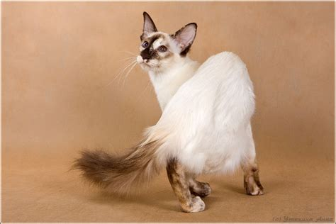Balinese and Javanese Cat ? Purrfect Cat Breeds