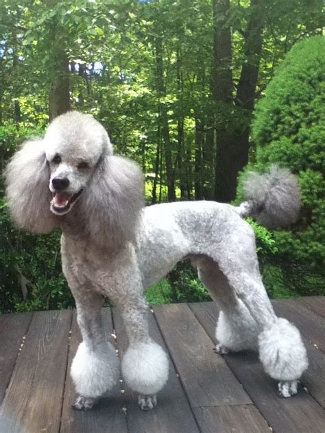 different styles poodle grooming different hair styles
