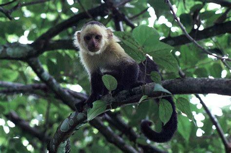 imagenes de lutos blancos fotos de monos simios macacos primates gorilas