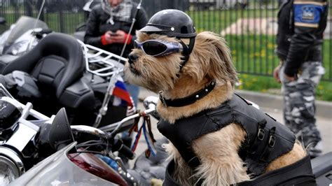 Dogs Motto daredevil rides on a motorbike