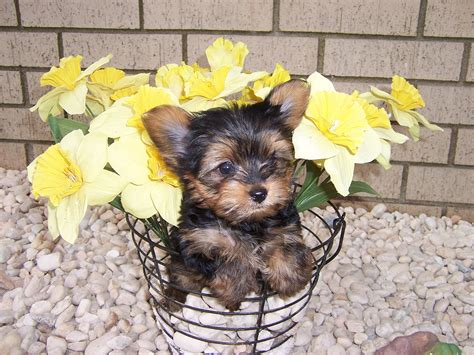 yorkie lifespan teacup yorkie jacket for a tea cup yorkie breeds picture
