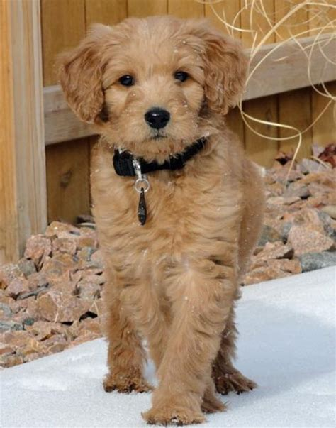 doodle puppy max the goldendoodle puppies daily puppy