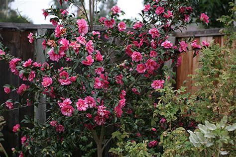 camellia hiryu   plants garden supplies