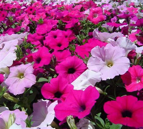 petunia fiore surfinia surfinia piante annuali coltivare surfinie