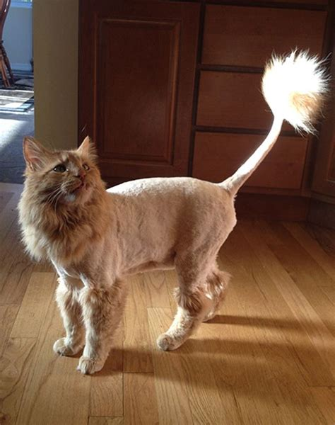 haircuts for long haired cats 14 best lion cut cats images on pinterest baby kittens