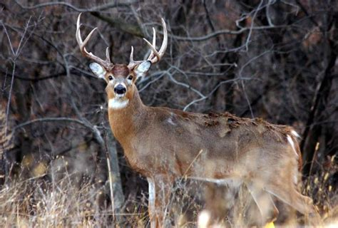 how to buck how to really use a grunt call to dupe big bucks deer