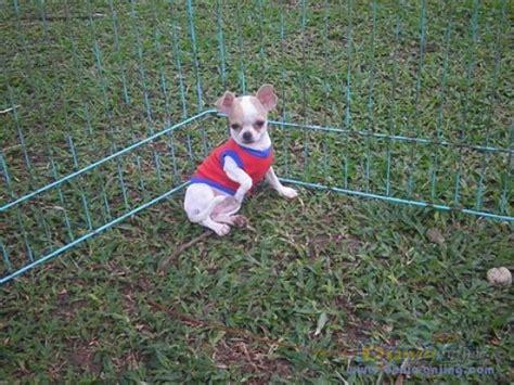 Cacing Sutera Tangerang dunia anjing jual anjing chihuahua anakan chihuahua