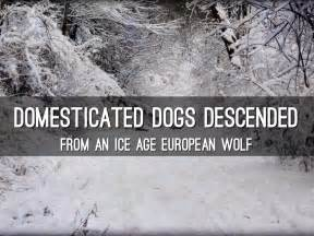 are dogs descended from wolves domesticated dogs descended from an age european