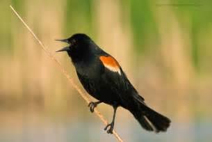 beautiful wallpapers for desktop red winged blackbird