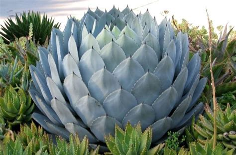 agave in vaso agave agave piante grasse agave agave succulente