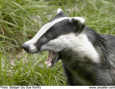 badger cull petition petition to stop the badger cull