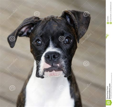 black and white boxer puppies black and white boxer puppy stock photo image 55070064