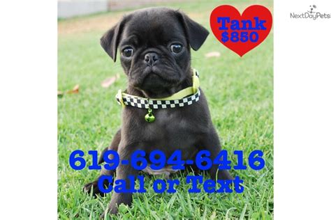 black pug puppies los angeles tank the pug black pug for sale in los angeles ca 4406561221 4406561221