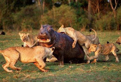 imagenes de leones cazando jirafas fotos de depredadores taringa