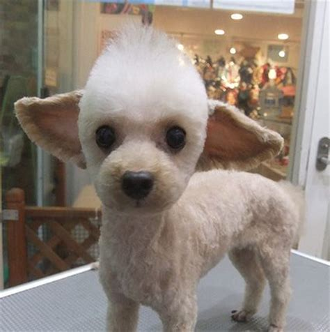 toy poodle haircuts pictures yoda toy poodle kind of looks like dew when he was a