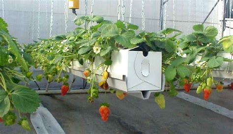Inside Plants by Smart Farming Technologies Cc Strawberry Farming In