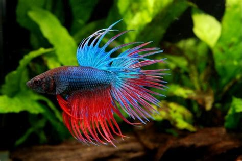 how often should you feed a how often should you feed a betta fish aquarium adviser