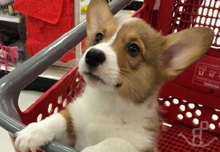 corgi puppies for sale in southern california swiss mountain puppies southern california breed dogs spinningpetsyarn