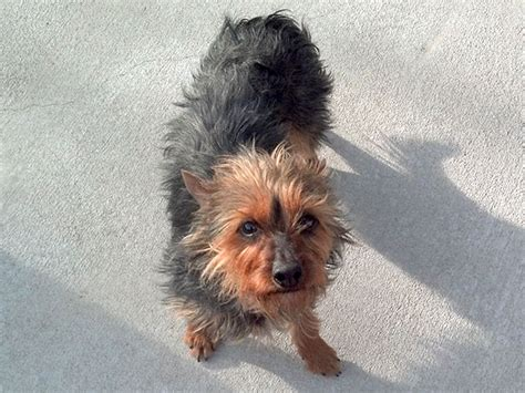 rocky mountain yorkie rescue yorkies for adoption rmyr rocky mountain yorkie rescue