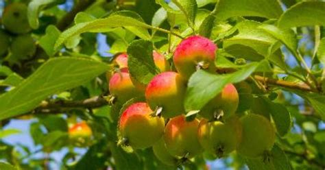 cross pollination fruit trees how to pollinate an apple tree by ehow uk