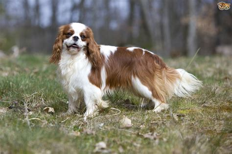 breeds of spaniel breeds to the uk pets4homes
