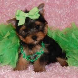 trained yorkie puppies for sale home trained and yorkie puppies for free adoption litle pups