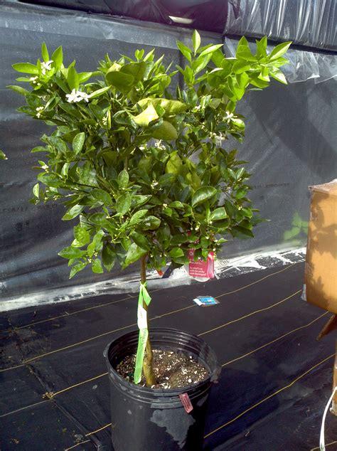 florida fruit trees for sale buy navel orange trees for sale in orlando florida