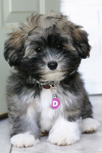 I Want A That Doesn T Shed by Havanese Puppy Doesn T Shed S Inspirations