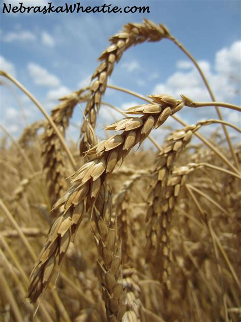 The Harvest Harvest Hers guest post custom wheat harvesting agriculture proud