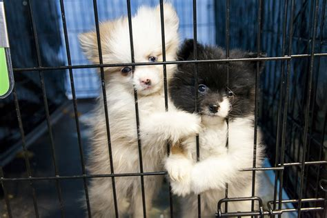 california puppy mill there should be a against puppy mills villages news