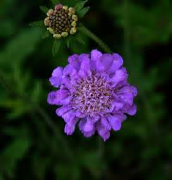 pincushion flower pictures butterfly blue pincushion flowers