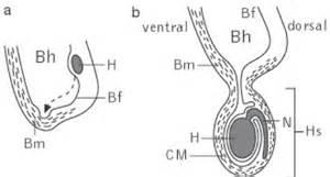 blut hoden schranke hoden kompaktlexikon der biologie