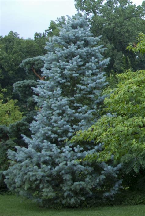 does concolor fir smell like oranges three top evergreen trees for gardens