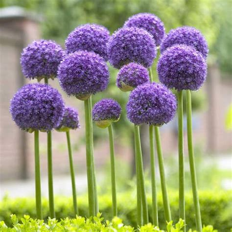 7 best images about alliums on pinterest the natural