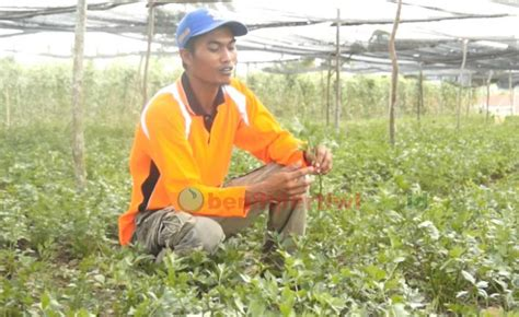 Benih Seledri Moyang moyang seledri yang tahan di cuaca ekstrim benih pertiwi