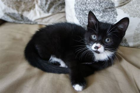 black and white kitten cute male black and white kitten 9 weeks old maidstone